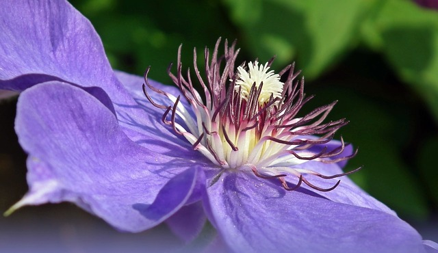 Nature, Flower, Clematis, Blue, Plant, Garden, Summer