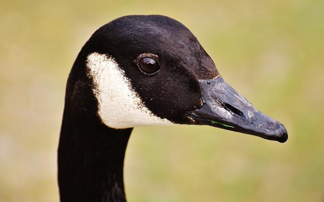 Wild Goose, Water Bird, Close, Nature, Poultry, Animal