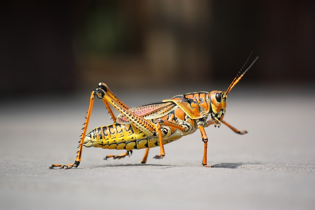 Grasshopper, Insect, Nature, Animal, Close