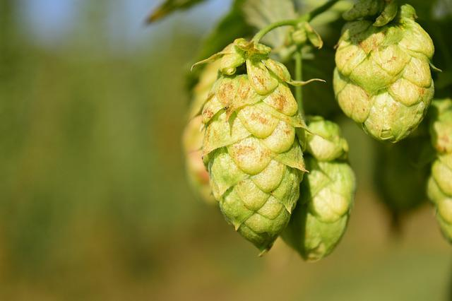 Hops, Close, Nature, Plant, Bavaria, Beer, Harvest