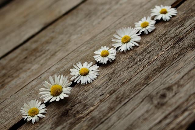 Daisy, Wooden, Nature, Closeup, Plant, Texture, Color