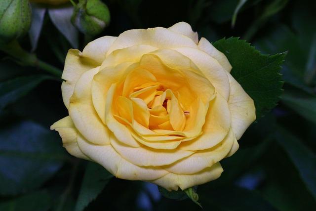 Flower, Rose, Flora, Leaf, Nature, Closeup