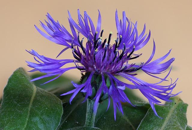 Nature, Flower, Summer, Close, Color, Plant, Cornflower