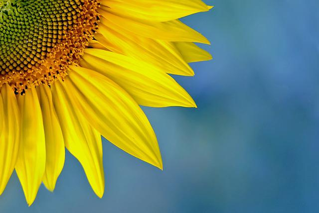 Nature, Plant, Summer, Flower, Sunflower, Color