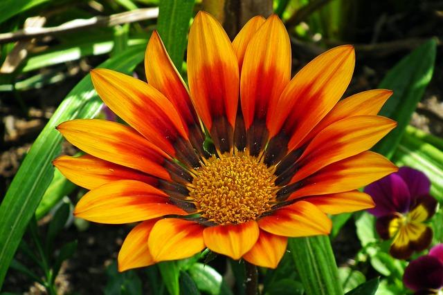 Gazanie, Flowers, Colorful, Nature, Macro, Summer
