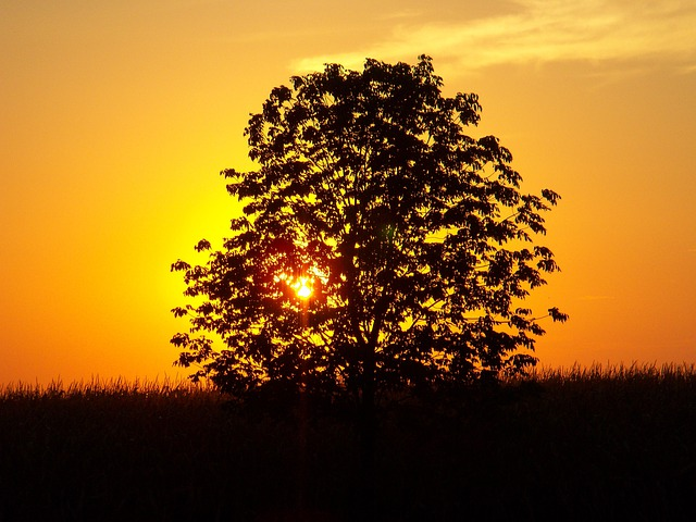 Sunset, Tree, Landscape, Corn Field, Outside, Nature