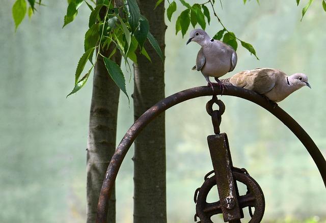 Birds, Turtledove, Animals, Nature, Couple