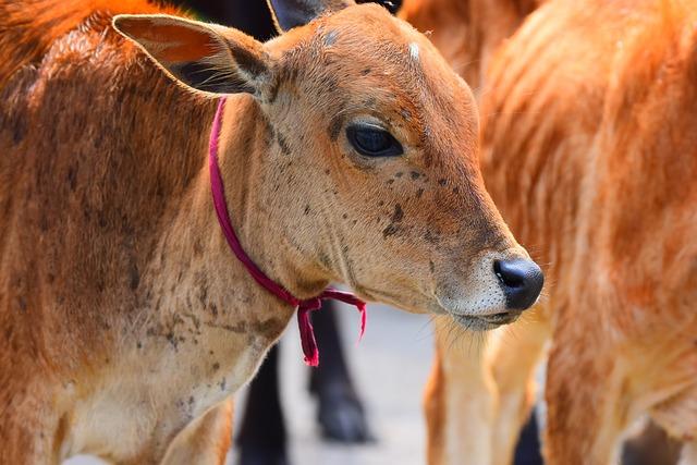 Animal, Nature, Mammal, Farm, Cow