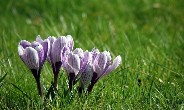 Nature, Flower, Grass, Flora, Summer, Crocus