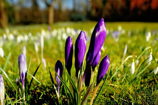 Nature, Flower, Plant, Grass, Meadow, Crocus