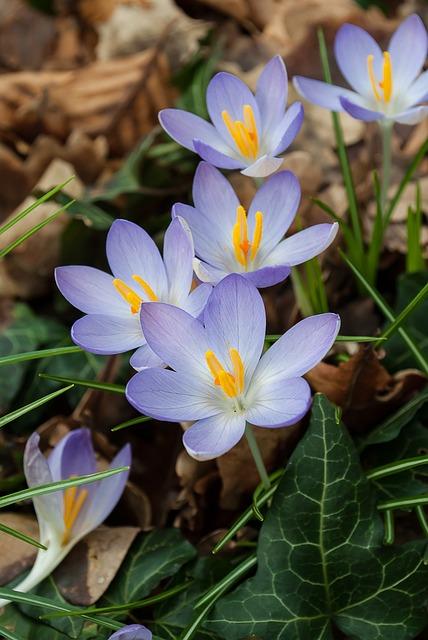 Crocus, Spring, Crocuses, Flowers, Nature