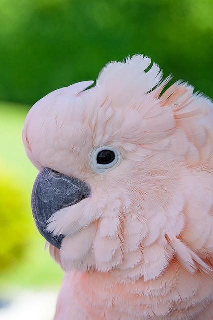 Bird, Animal, Nature, Portrait, Cute, Cockatoo