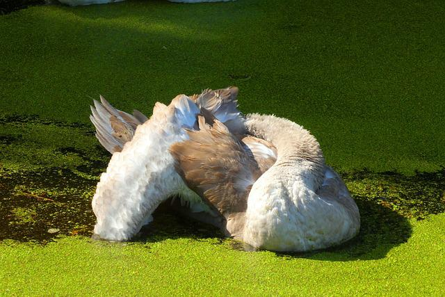 Cygnet, Ditch, Down Feathers, Cleaning, Nature, Swan