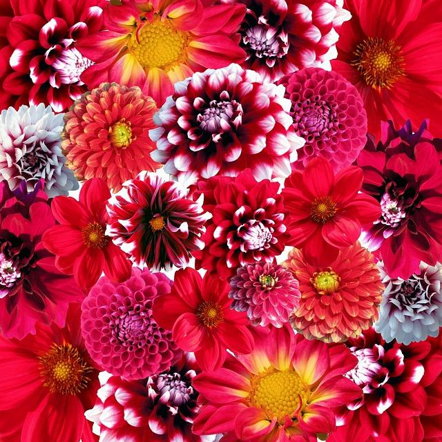 Autumn, Dahlias, Flowers, Blossom, Bloom, Nature, Dalia