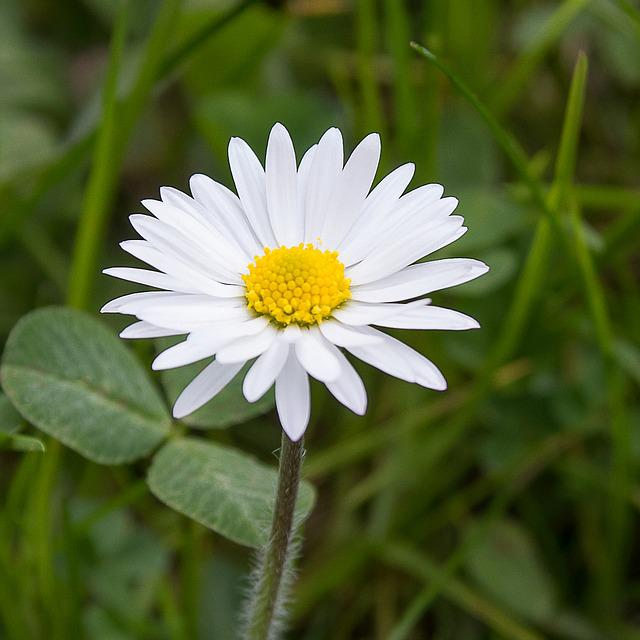 Daisy, Nature, Flower