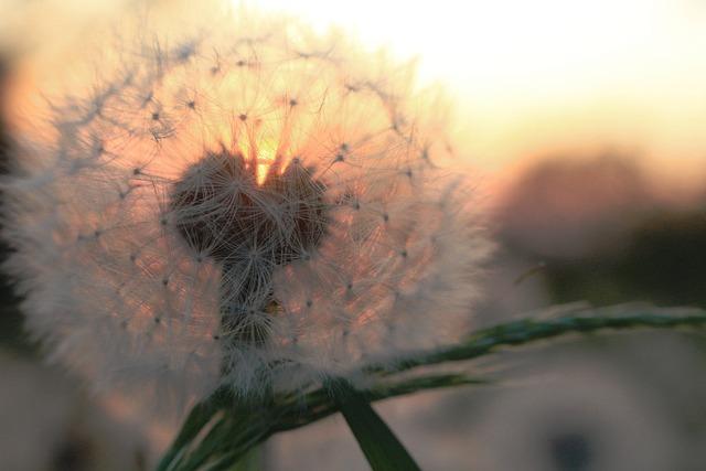 Dandelion, Sunset, Summer, Nature, Plant, Fluff