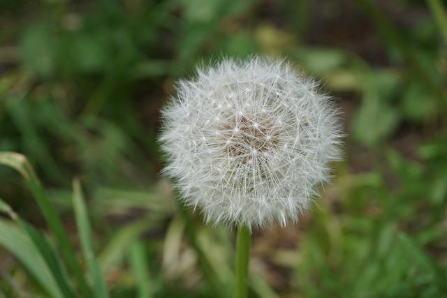 Dandelion, Flying Seeds, Nature