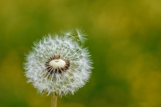 Dandelion, Nature, Plant, Flower, Seeds, Summer, Bright
