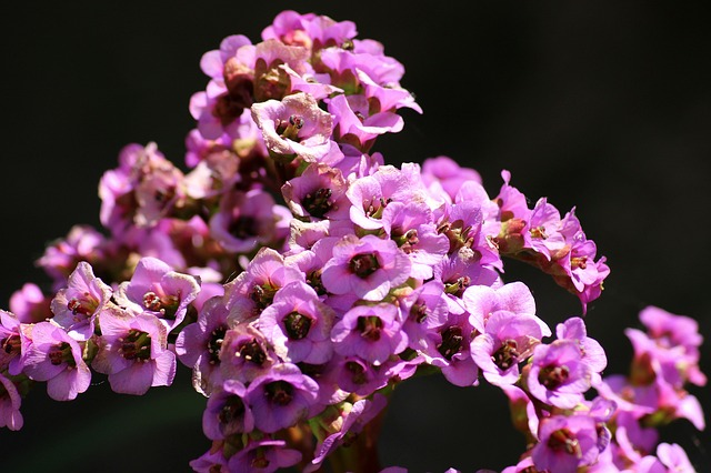 Bergenia, Flower, Perennial, Decoration, Nature