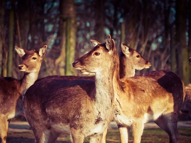 Roe Deer, Deer, Animal, Wild, Nature, Forest, Rehgruppe