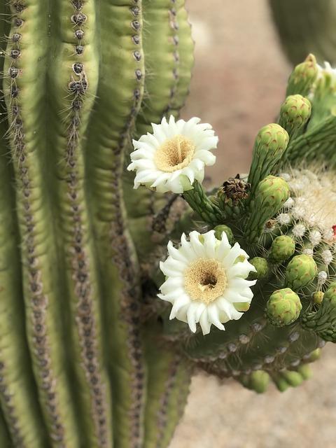 Flower, Desert Flower, White, Desert, Nature