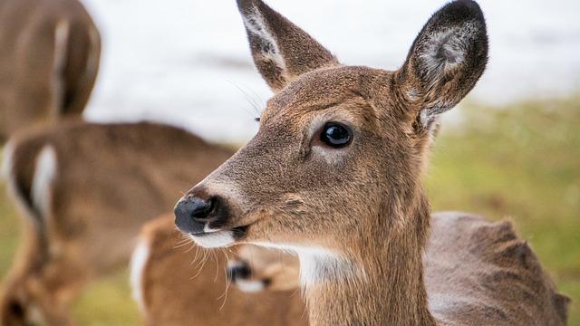 Deer, Doe, Nature, Wildlife, Fawn, Animal, Mammal