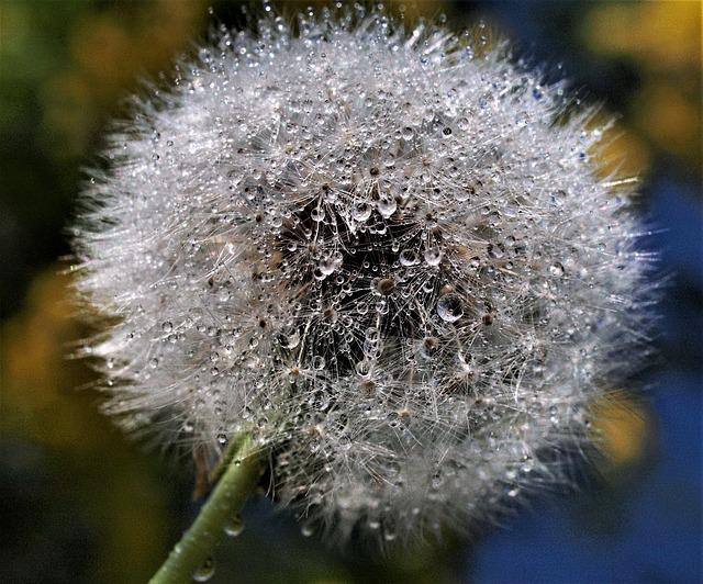 Downy, Dandelion, Seed, Nature, Softness, Delicate