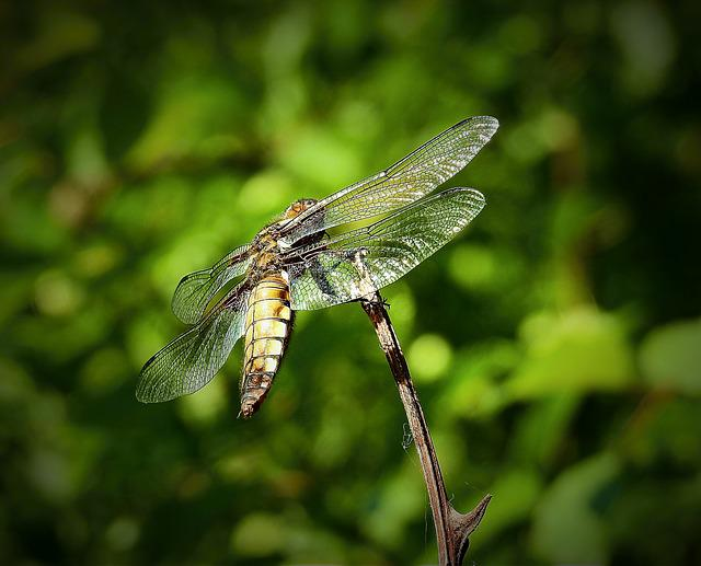 Dragonflies, Nature, Insect