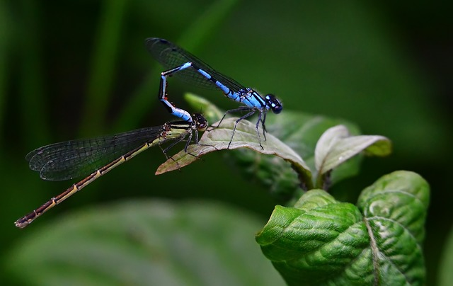 Dragonflies, Bridesmaids, Nature, Macro, Blue