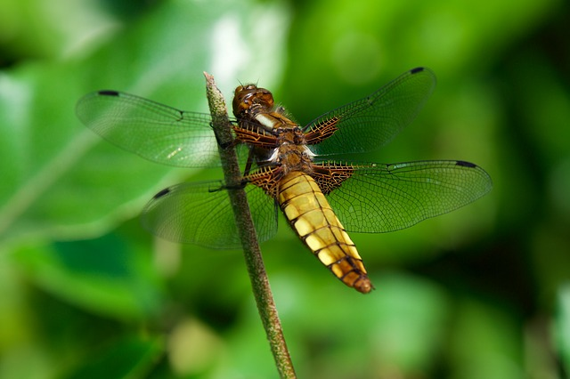 Insect, Nature, Dragonfly