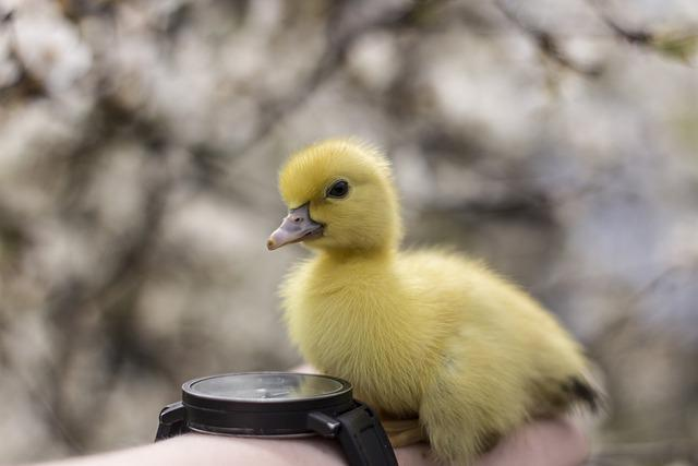 Duck, Ducklings, Duckling, Cute, Nature, Animal, Ducks