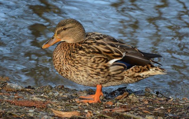 Bird, Duck, Animal World, Puddle, Nature