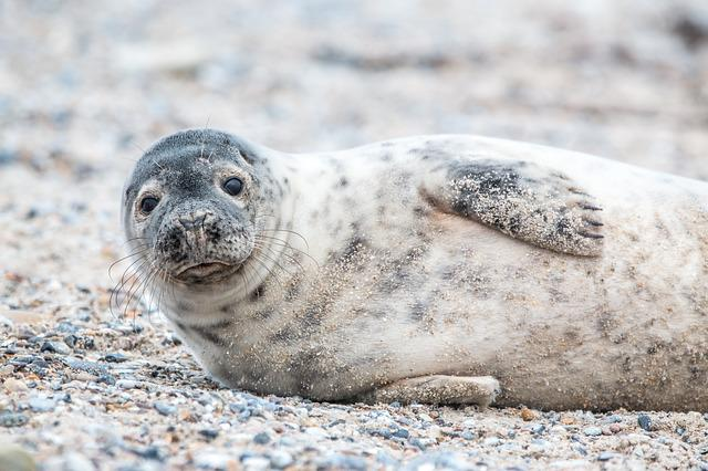Grey Seal, Helgoland, Dune, Sand, Beach, Nature, Animal
