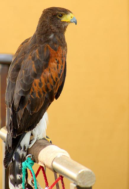 Bird, Raptor, Eagle, Nature, Hawk, Falconry