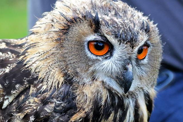 Eagle Owl, Owl, Bird, Animal, Wildlife, Nature, Eagle