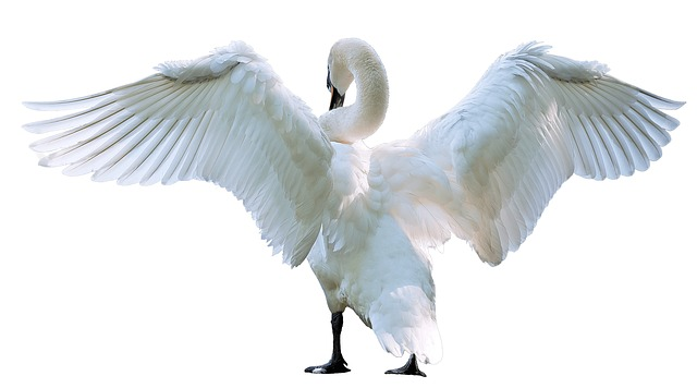 Swan, Bird, White, Nature, Elegance, Animal, Grace