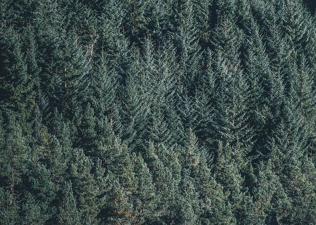 Conifers, Environment, Fir Trees, Forest, Green, Nature