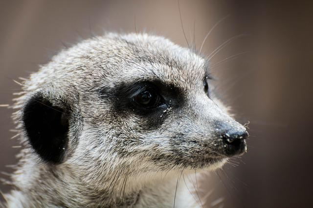 Erdmann, Meerkat, Animal Portrait, Nature, Furry