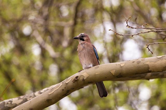 Animal, Bird, Bokeh, Eurasian Jay, Nature, Tree