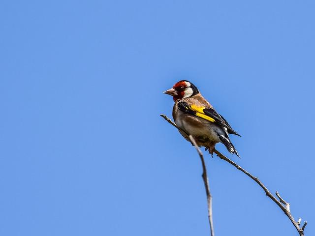 European Goldfinch, Bird, Nature, Wildlife, Animal