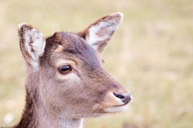 Roe Deer, Fallow Deer, Nature, Animal, Young Deer