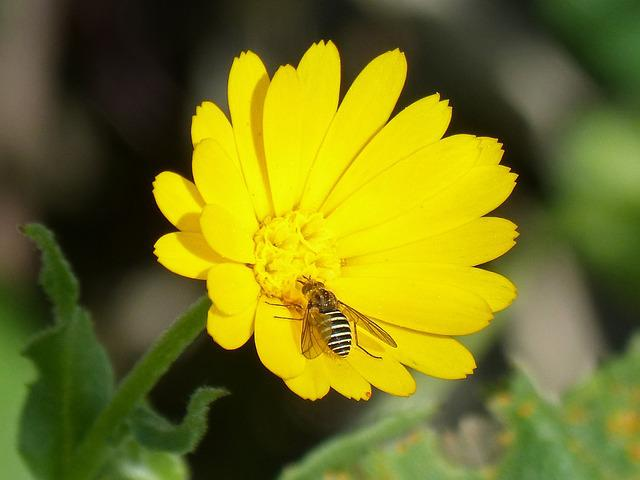 Hoverfly, False Bee, Libar, Nature, Plant, Flower
