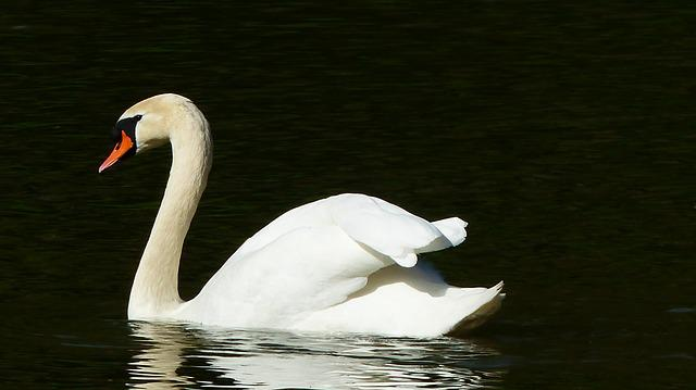 Swan, Body Of Water, Bird, Lake, Nature, Feathers, Beak