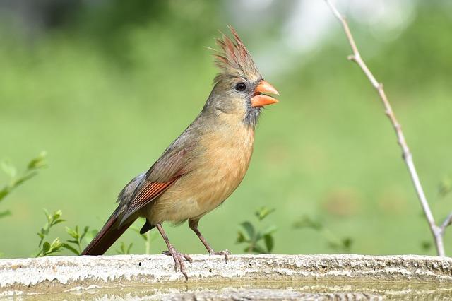 Nature, Bird, Wildlife, Animal, Wild, Cardinal, Female
