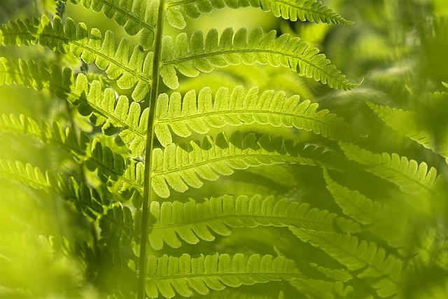 Matteucia Struthiopteris, Fern, Leaf, Green, Nature