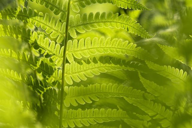 Matteucia Struthiopteris, Fern, Leaf, Green, Nature