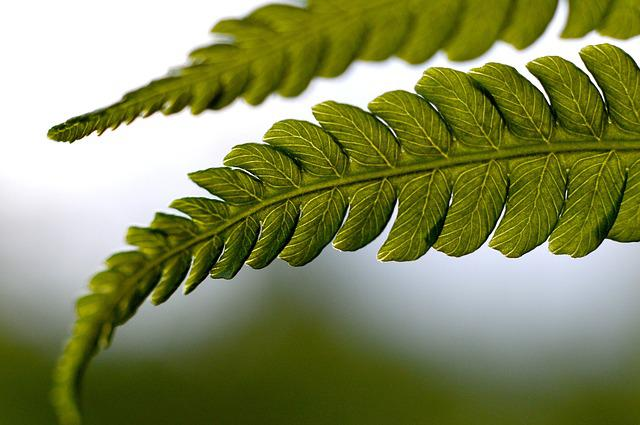 Fern, Ferns, The Delicacy, Nature, Garden, Foliage
