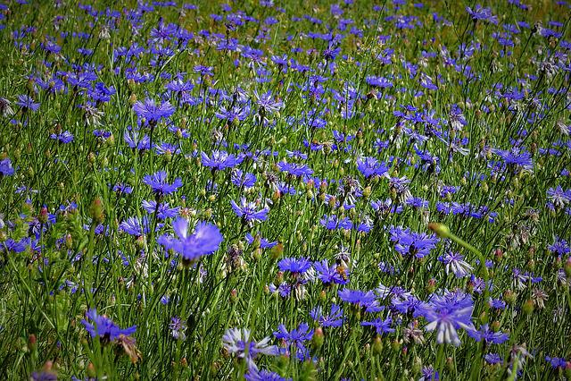 Field Of Cornflowers, Spring, Nature, Meadow