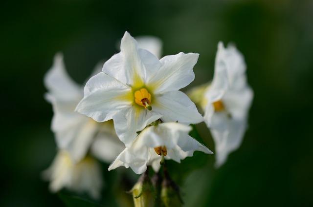 Potato Blossom, Blossom, Bloom, Nature, Field, Plant