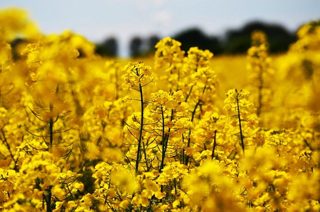 Oilseed Rape, Field, Nature, Landscape, Yellow